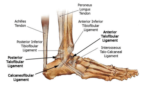 ligaments-tendons