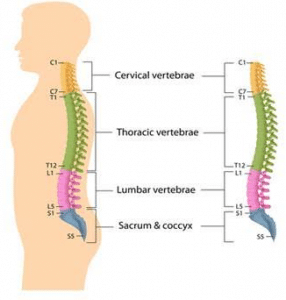 lower-tail-bone-area-known-as-the-coccyx